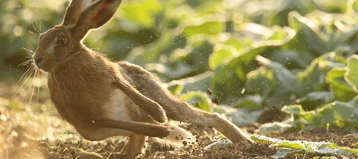 ヨーロッパブラウンノウサギ/72km/h
